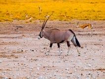 Gemsbok antelope in the yellow grass. Gemsbok antelope, or Oryx gazella, standing in the dry yellow grass of savanna in Etosha National Park, Namibia Royalty Free Stock Photo