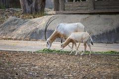 Gemsbok antelope in the Zoo Royalty Free Stock Image