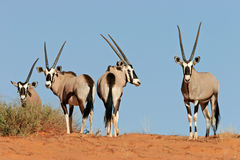 Gemsbok antelopes Royalty Free Stock Photography