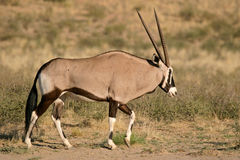 Gemsbok antelopes Royalty Free Stock Photos