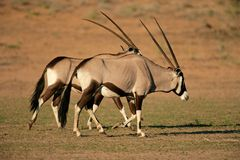 Gemsbok antelopes Royalty Free Stock Image