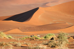 Gemsbok antelopes against dunes. Two Gemsbok antelopes (Oryx gazella) search for food. Sossusvlei. Namib desert. Namibia royalty free stock image