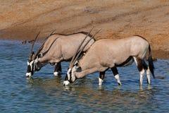 Gemsbok antelopes drinking - Etosha Stock Images