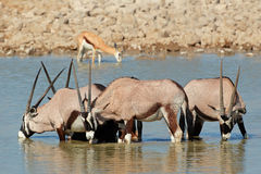 Gemsbok antelopes drinking Stock Photography