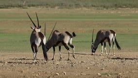 Gemsbok antelopes eating salty soil stock video