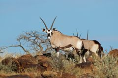 Gemsbok antelopes in natural habitat Stock Photo