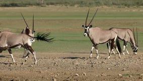 Gemsbok antelopes stock video