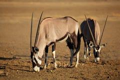 Gemsbok antelopes Royalty Free Stock Photo
