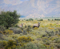 Gemsbok antelopes at South African bush Stock Photo