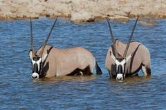 Gemsbok antelopes wading Royalty Free Stock Photos