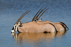 Gemsbok antelopes wading Stock Photos