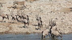 Gemsbok antelopes at waterhole Stock Image