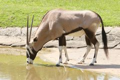 Gemsbok antilope drinking water in field. Gemsbok   antilope drinking water in field Stock Photography