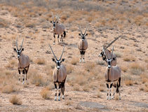 Gemsbok-Antilope (Oryx Gazella) Lizenzfreie Stockfotos