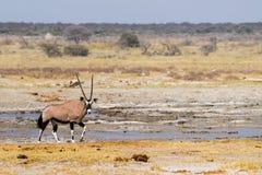Gemsbok antylopa lub oryx gazella, Obraz Royalty Free