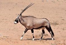Gemsbok antylopa (Oryx gazella) Fotografia Royalty Free