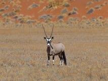 Gemsbok antylopa (Oryx gazella) zdjęcie royalty free