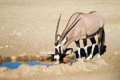 Gemsbok bevente Immagine Stock