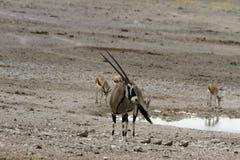 Gemsbok Blisko podlewanie dziury, Etosha park narodowy, Namibia Zdjęcie Royalty Free