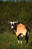 Gemsbok Bull Stock Photography