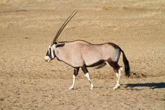 Gemsbok bull Stock Image