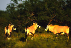 Gemsbok Bulls in Early Morning Light. A group of gemsbok bulls in great dramatic light Stock Images