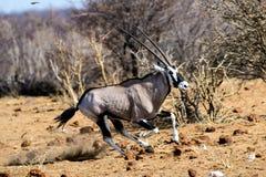 Gemsbok che corre a massima velocita Fotografie Stock