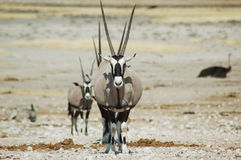 Gemsbok dans Etosha #3 Photos stock