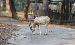 Gemsbok dans le zoo Photo libre de droits