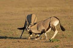 Gemsbok de la lucha Foto de archivo libre de regalías