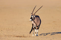 Gemsbok in de woestijn Stock Foto