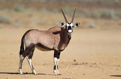 Gemsbok in de woestijn van Kalahari Stock Afbeeldingen
