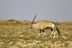 Gemsbok, der in die Kalahari-Wüste geht Stockbilder