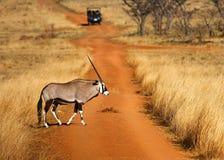 Gemsbok, der eine Straße kreuzt Lizenzfreie Stockfotos