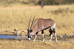 Gemsbok, der am waterhole trinkt Stockfotografie