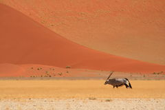Gemsbok in the desert. A gemsbok walking towards the red sand dunes, Namibia Royalty Free Stock Photo