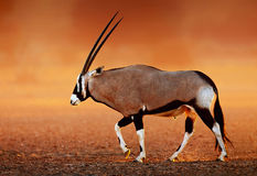 Gemsbok  on  desert plains at sunset Royalty Free Stock Photos
