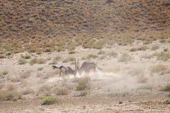 Gemsbok deux de combat en parc de transfrontiep de kgalagadi photographie stock