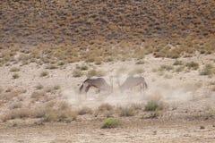 Gemsbok deux de combat en parc de transfrontiep de kgalagadi photo libre de droits