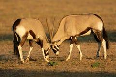Gemsbok di combattimento, deserto di Kalahari, Sudafrica Fotografia Stock Libera da Diritti