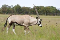 Gemsbok die (Oryx) door weide loopt Stock Foto's