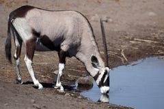 Gemsbok die oryx drinkt Royalty-vrije Stock Afbeeldingen