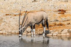 Gemsbok drinking. Ethosa National Park, Namibia, Africa, the dry season Royalty Free Stock Photo