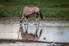 Gemsbok drinking from a pool of water. Royalty Free Stock Photos