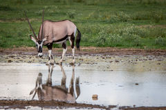 Gemsbok drinking from a pool of water. Stock Photos