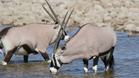Gemsbok drinking water stock video