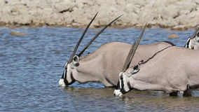 Gemsbok drinking water stock video footage