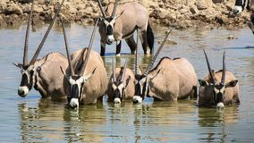 Gemsbok drinking water at Estosha National Park. Gemsbok oryx drinking water at Estoha National Park, namibia. They are standing in the waterhole which is odd royalty free stock photos