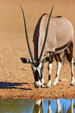Gemsbok drinkwater Royalty-vrije Stock Fotografie