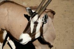 Gemsbok eller gemsbuck (oryxantilopgazellaen) Arkivbilder